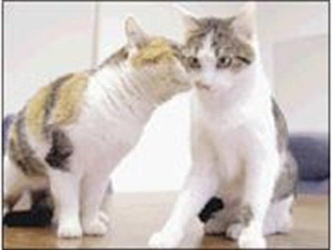 Kopya kedi Cc, medyayla tanıştı